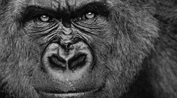 Собственный герпесвирус уподобил горилл человеку