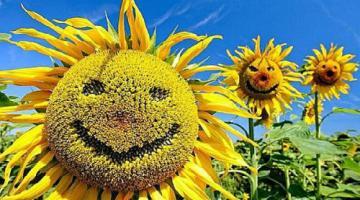 Качественные семена подсолнечника – залог высокой урожайности