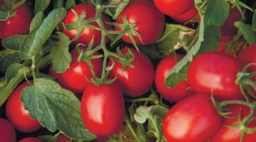 На Одещині загинуло до 80% тепличних томатів