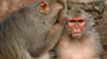 Стволовые клетки человека вернули обезьянкам возможность хватать объекты